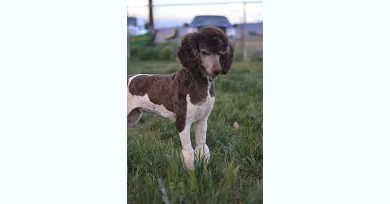 Photo of Ruby, a Poodle (Standard)  in Oregon, USA