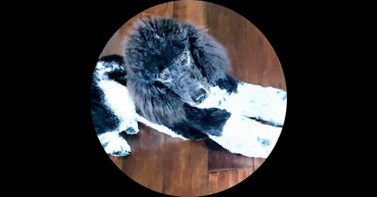 Photo of Jagger Blu, a Poodle (Standard)  in Monett, MO, USA