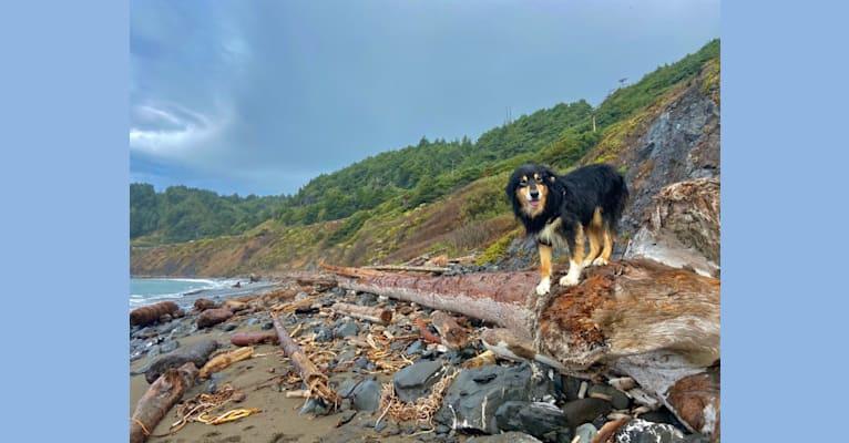 Photo of Asher, an Australian Shepherd Group  in Portland, Oregon, USA