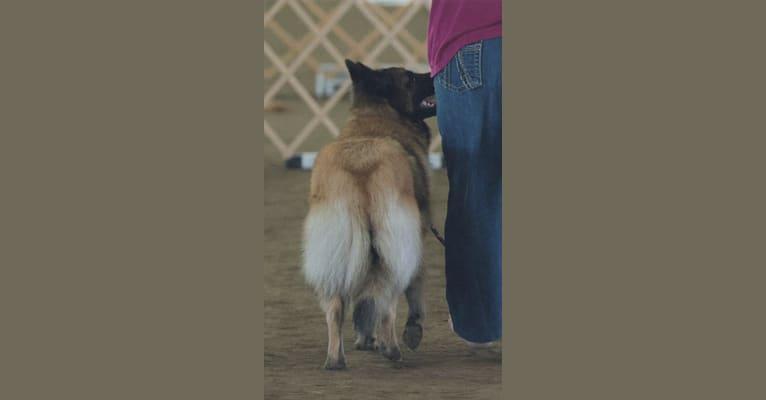 Photo of Tuarie, a Belgian Shepherd  in Poulsbo, WA, USA