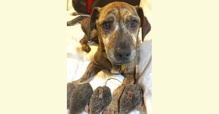 Photo of T-John, a Miniature Pinscher, Boston Terrier, American Eskimo Dog, and Miniature Schnauzer mix in Arkansas, USA