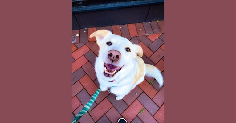 Photo of Hayley, a Great Pyrenees, Beagle, Staffordshire Terrier, and Border Collie mix