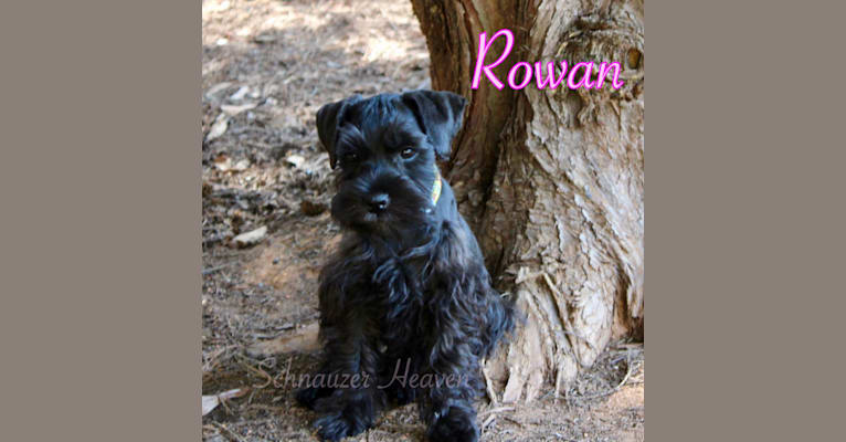 Photo of HEAVEN'S ROWAN VON LONGBACH, a Miniature Schnauzer