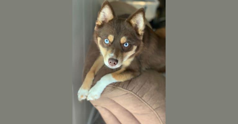 Photo of Aria, a Pomsky  in Missouri, USA