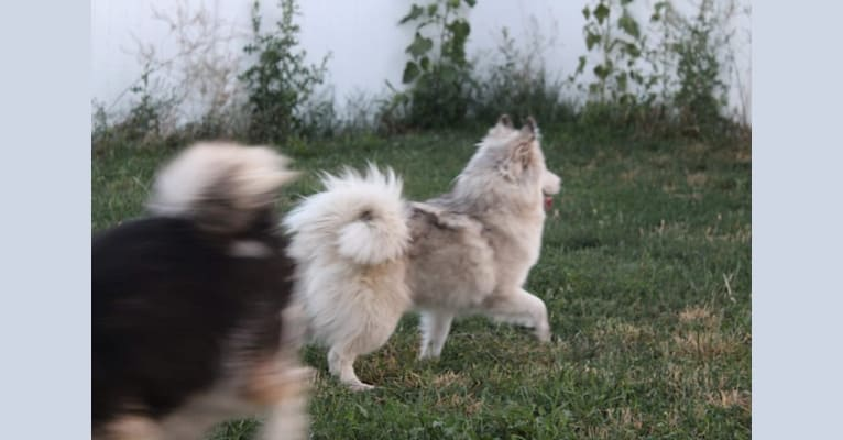 Photo of Tamsin, a Pomsky  in Clarkston, UT, USA