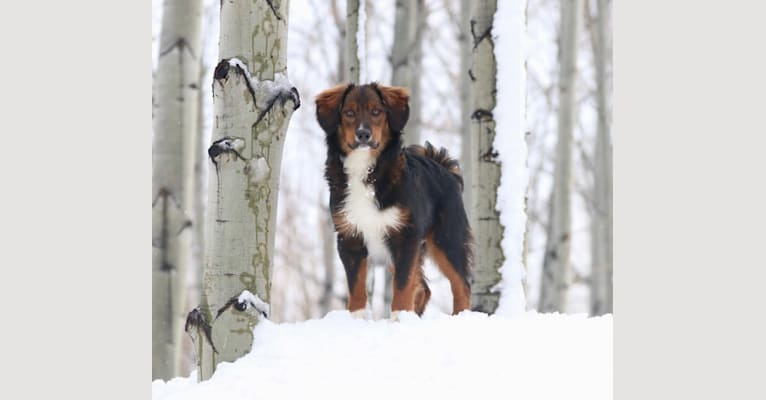 Photo of Burley, an English Shepherd  in Washington, USA