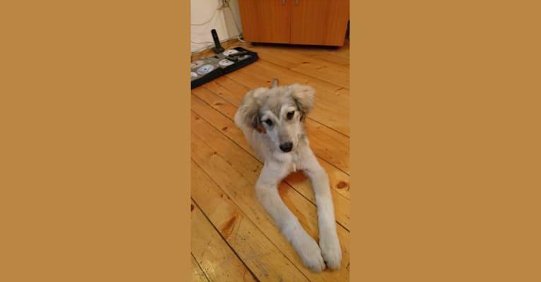 Photo of Saraj, an Eastern European Village Dog  in North Macedonia
