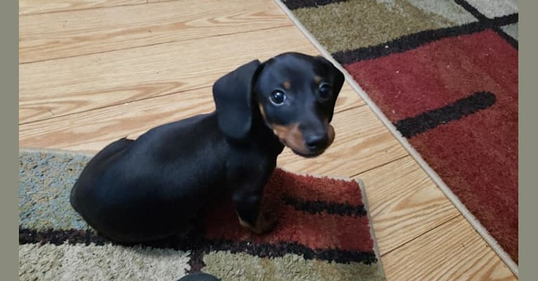 Photo of cassie, a Dachshund  in Hungary