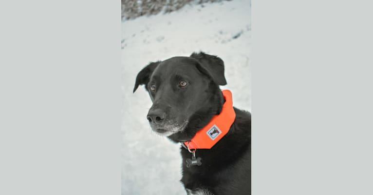 Photo of Boe, a Labrador Retriever and Australian Cattle Dog mix in Spokane, Washington, USA