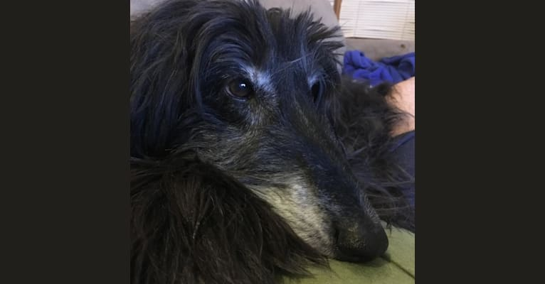 Photo of Gus, an Afghan Hound  in Chicago, IL, USA
