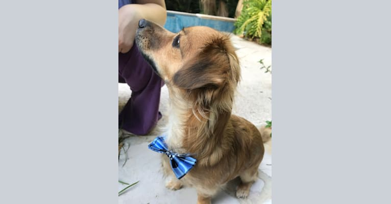Photo of Winne, a Chihuahua, Poodle (Small), and Mixed mix in Laredo, Texas, USA