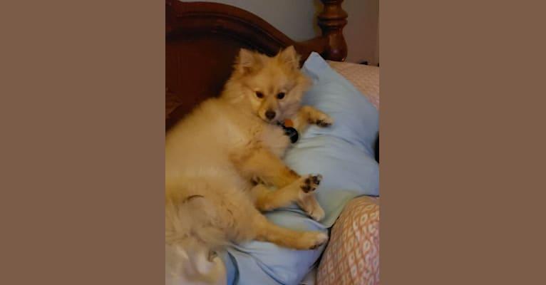 Photo of Leia, a Pomeranian and Shiba Inu mix in Tampa, Florida, USA