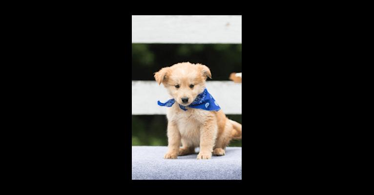 Photo of Milo, an Australian Cattle Dog, Golden Retriever, German Shepherd Dog, Siberian Husky, and Mixed mix