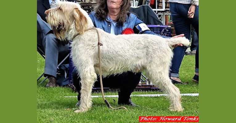 Photo of INISHSTORM MARIO, a Spinone Italiano