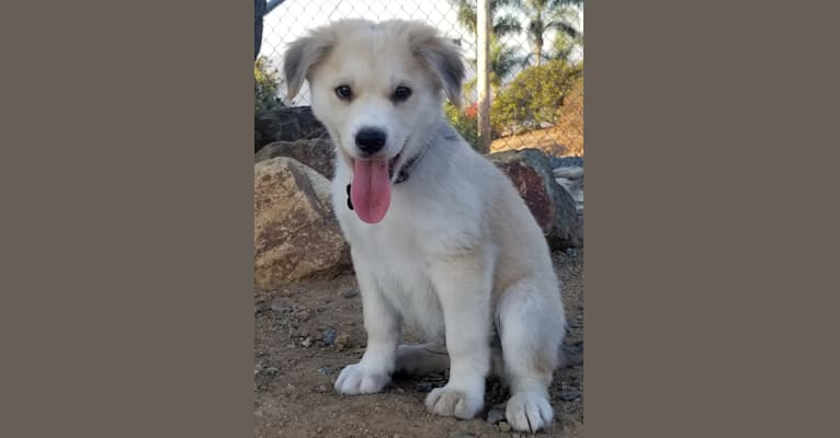 Photo of Caius, a German Shepherd Dog, Golden Retriever, Chow Chow, American Pit Bull Terrier, Dalmatian, Siberian Husky, and Boxer mix in San Diego, California, USA