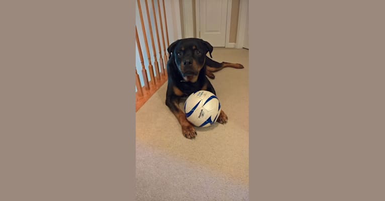 Photo of Augustus, a Rottweiler  in Baltimore, Maryland, USA