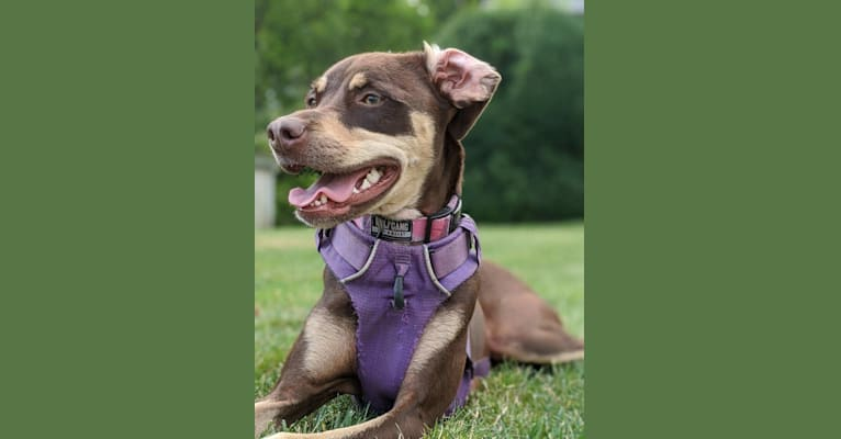 Photo of Olive, an American Pit Bull Terrier, Chihuahua, Russell-type Terrier, Miniature Pinscher, and Mixed mix in South Carolina, USA