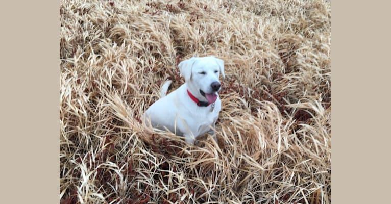 Photo of Blazer, a Labrador Retriever  in Granbury, TX, USA