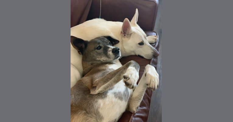 Photo of Turner Messick, a Siberian Husky, Chow Chow, and Beagle mix in Wilmington, North Carolina, USA