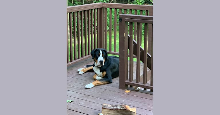 Photo of Bear, a Greater Swiss Mountain Dog