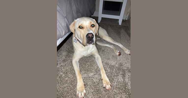 Photo of Frank, a Labrador Retriever and American Pit Bull Terrier mix in Redding, California, USA