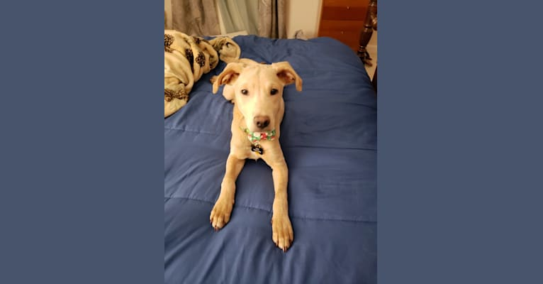 Photo of Leo, an American Foxhound, American Pit Bull Terrier, German Shepherd Dog, American English Coonhound, Rottweiler, and Pointer mix in South Carolina, USA