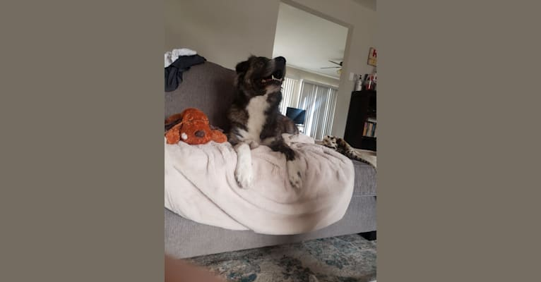 Photo of Ziggy, an American Pit Bull Terrier, Great Pyrenees, American Staffordshire Terrier, German Shepherd Dog, and Mixed mix in San Diego, California, USA
