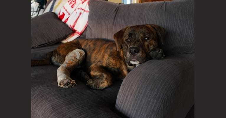 Photo of Bear, a Rottweiler, American Pit Bull Terrier, and German Shepherd Dog mix in Niagara Falls, Ontario, Canada