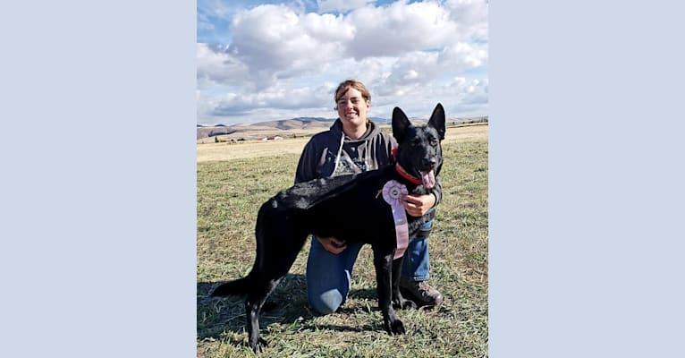 Photo of Grimm, a Dutch Shepherd and German Shepherd Dog mix in Tremonton, Utah, USA