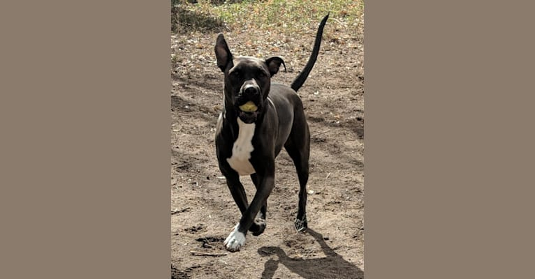 Photo of Andromeda, an American Pit Bull Terrier, Boxer, and American Staffordshire Terrier mix in Texas, USA