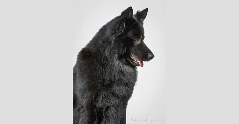 Photo of DARYUN, a German Shepherd Dog  in Lochem, Netherlands