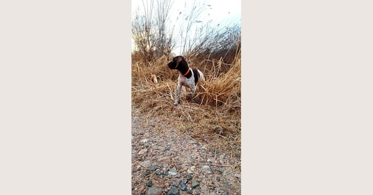 Photo of Meeka Santos, a German Shorthaired Pointer  in Verner, ON, Canada