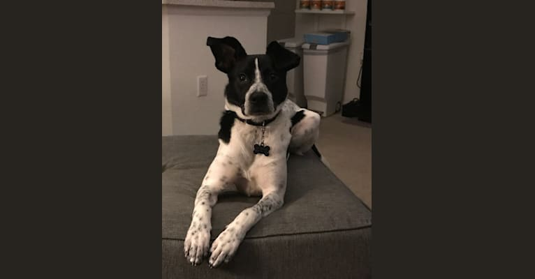 Photo of Dexter, an American Pit Bull Terrier, Labrador Retriever, Australian Cattle Dog, and Mixed mix