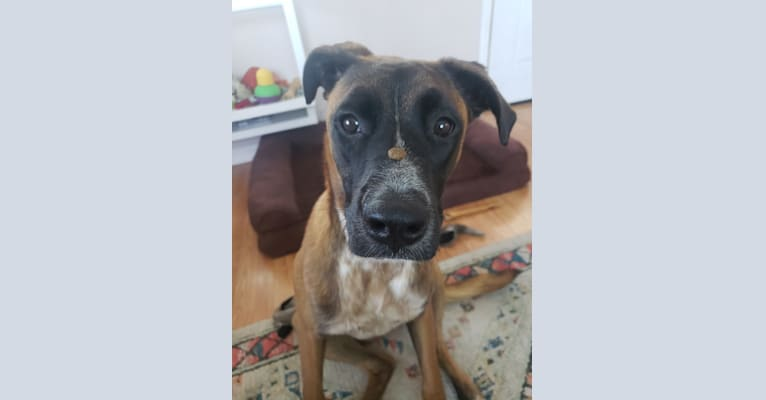 Photo of Jameson, a Boxer and Belgian Malinois mix