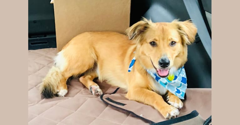 Photo of Khaleesi, a Rottweiler, German Shepherd Dog, American Pit Bull Terrier, Labrador Retriever, Chow Chow, and American Foxhound mix in Gainesville, Florida, USA