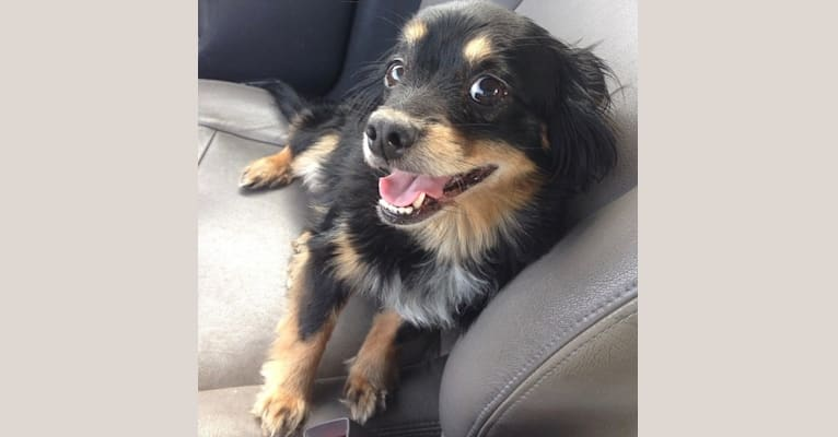 Photo of Elliott, a Chihuahua, Dachshund, Poodle (Small), Pomeranian, and Mixed mix