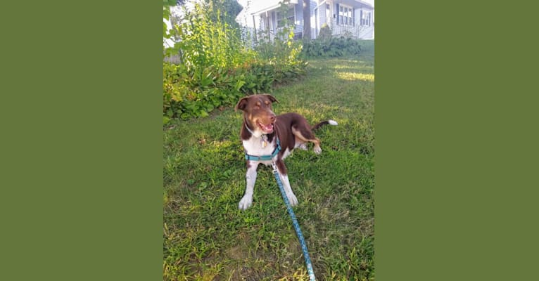 Photo of Milo Blue, a Labrador Retriever, Australian Cattle Dog, Border Collie, American Pit Bull Terrier, and Mixed mix in Canajoharie, New York, USA