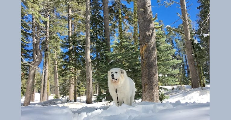 Photo of choupette, a Great Pyrenees  in Los Angeles, CA, USA