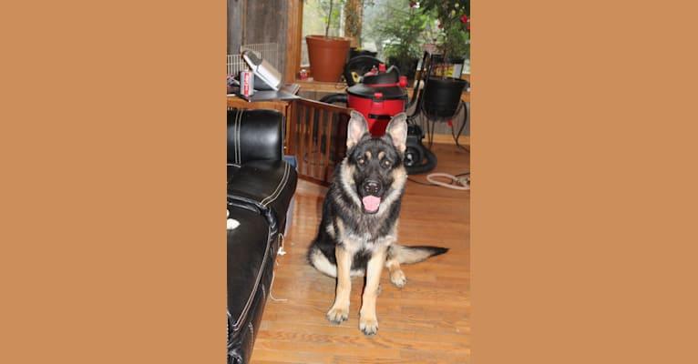 Photo of REY, a German Shepherd Dog
