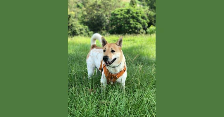 Photo of Sandie, a Hong Kong Village Dog  in New Territories, Hong Kong