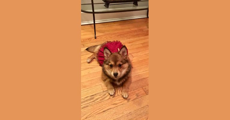 Photo of Annabelle, a Pembroke Welsh Corgi and Pomeranian mix in New York, USA