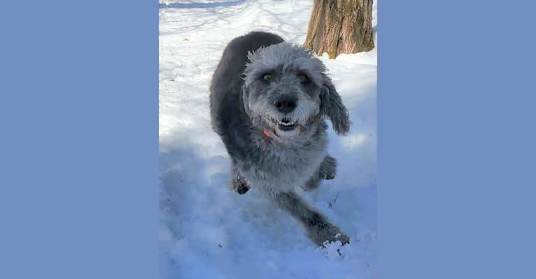 Photo of Roger, a Poodle (Small) and Labrador Retriever mix in Sault Ste. Marie, ON, Canada