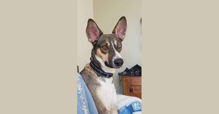 Photo of Nellie, a Doberman Pinscher, Siberian Husky, and Alaskan Malamute mix in Roswell, New Mexico, USA