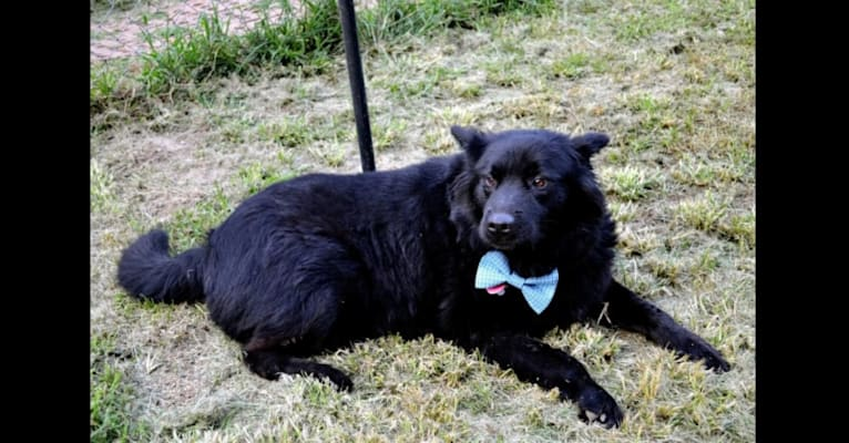 Photo of Hudson, a Chow Chow and German Shepherd Dog mix in Anniston, Alabama, USA