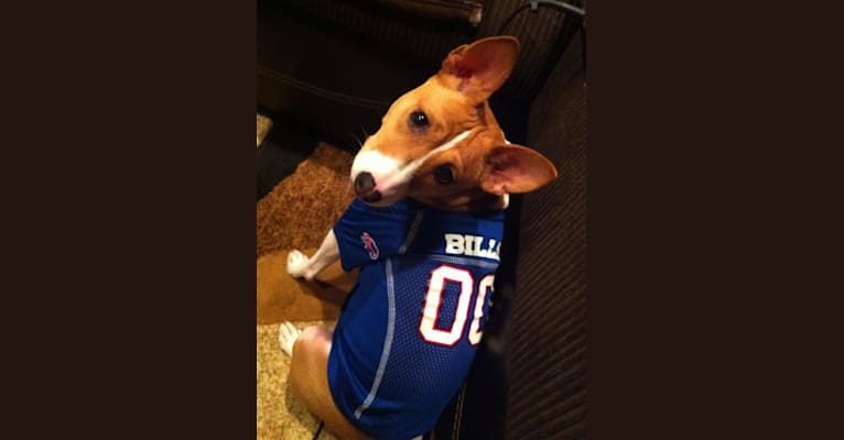 Photo of Simone, a Basenji  in Buffalo, New York, USA