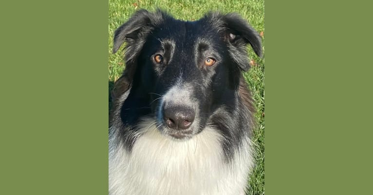 Photo of Chako, an English Shepherd and Collie mix in Windsor, CT, USA