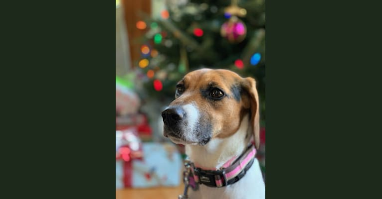 Photo of Freckles, a Beagle and German Shepherd Dog mix in Blacksburg, Virginia, USA