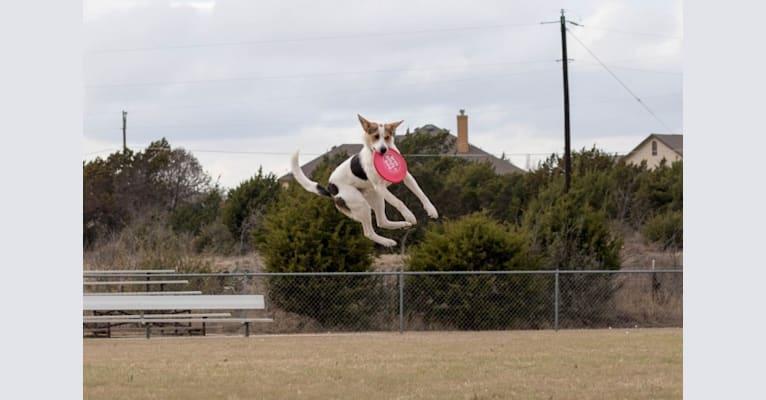 Photo of Havok, an Australian Cattle Dog, German Shepherd Dog, Boxer, and Border Collie mix in San Antonio, Texas, USA