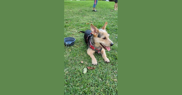 Photo of Makani, a Chihuahua, Miniature Pinscher, Russell-type Terrier, and Mixed mix in Kapolei, Hawaii, USA