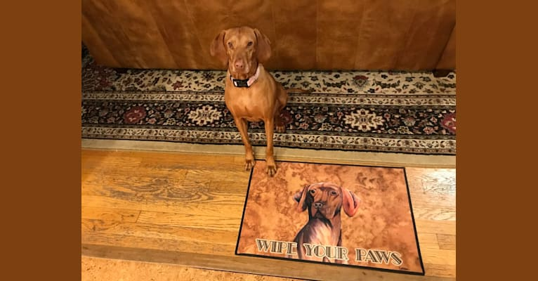 Photo of Daisy, a Vizsla  in Wichita, Kansas, USA